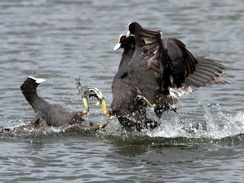 Birds-coot-th