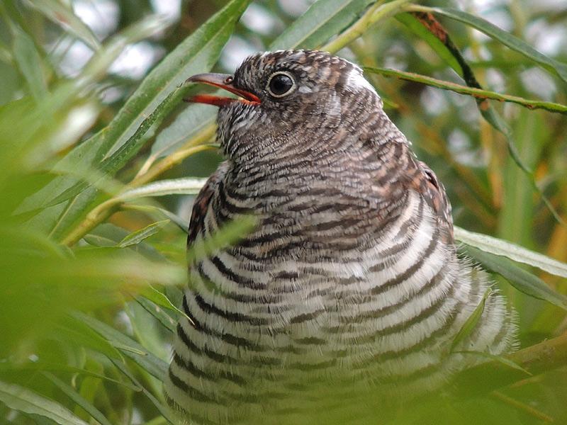 Birds-cuckoo-rm