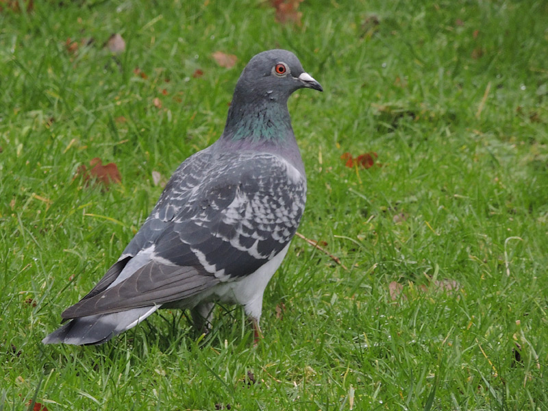 Birds-feral-pigeon