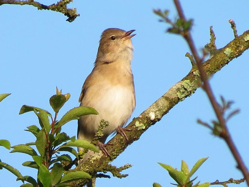 Birds-garden-warbler-rr