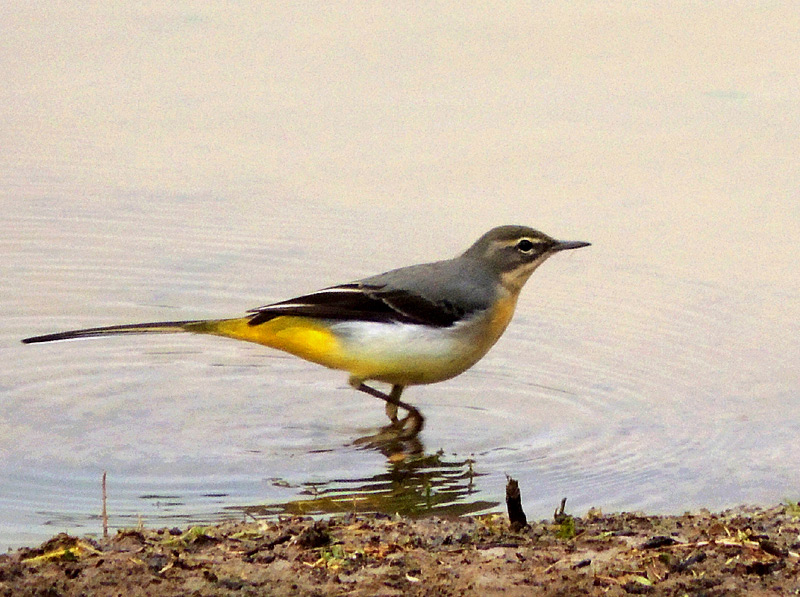 Birds-grey-wagtail