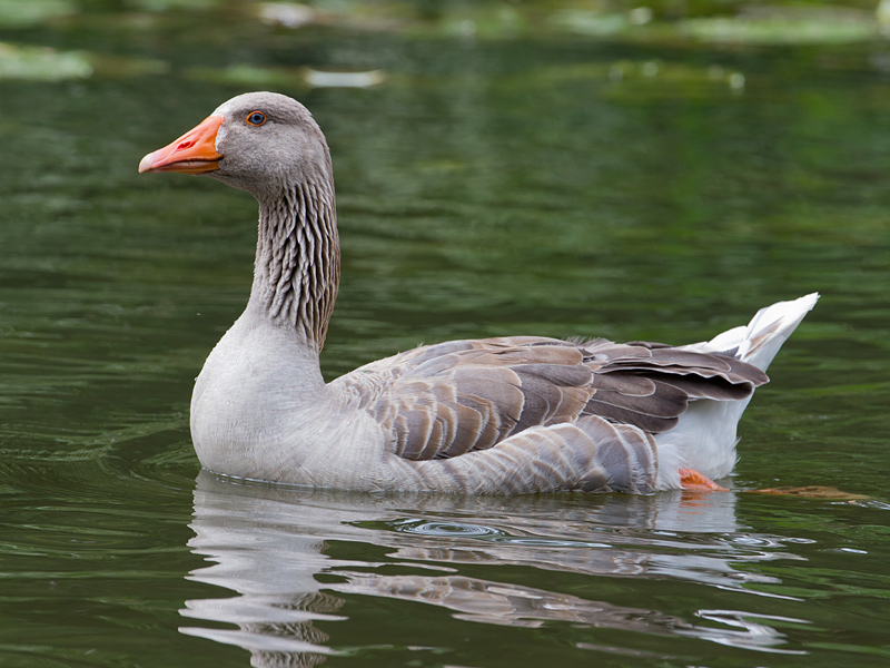 Birds-greylag-goose-th
