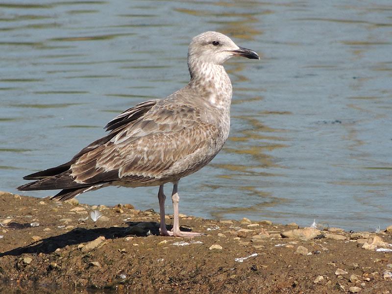 Birds-herring-gull-juv-rm