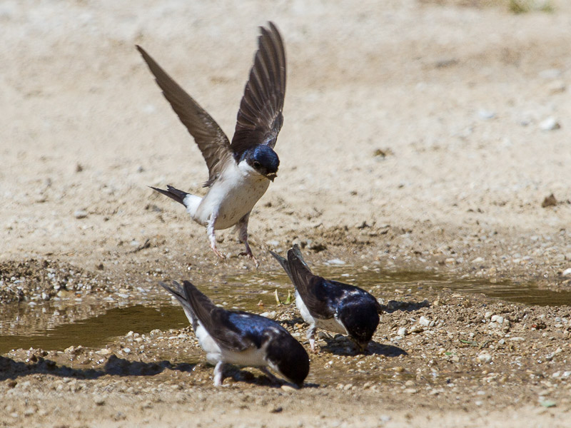 Birds-house-martin-tj