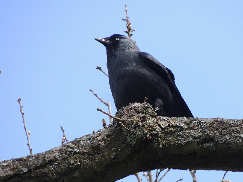 Birds-jackdaw