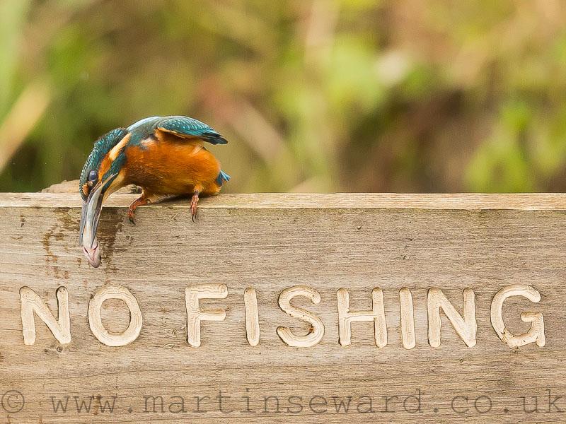 Birds-kingfisher-fish-ms
