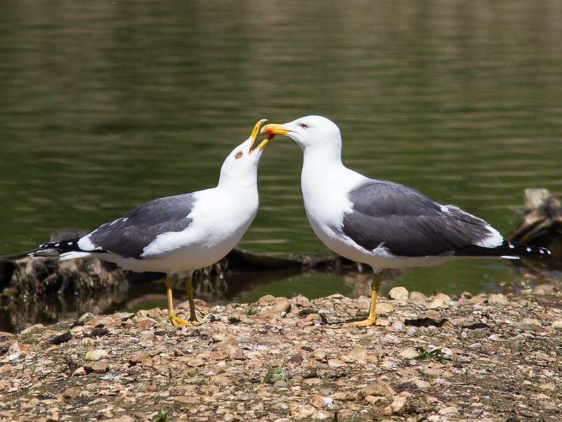 Birds-lbb-gull-tj