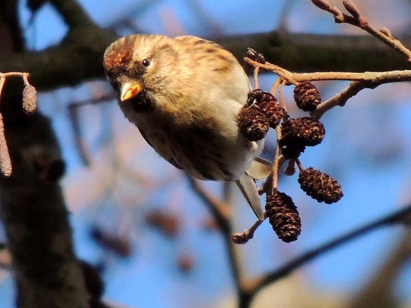 Birds-lesser-redpoll-gse