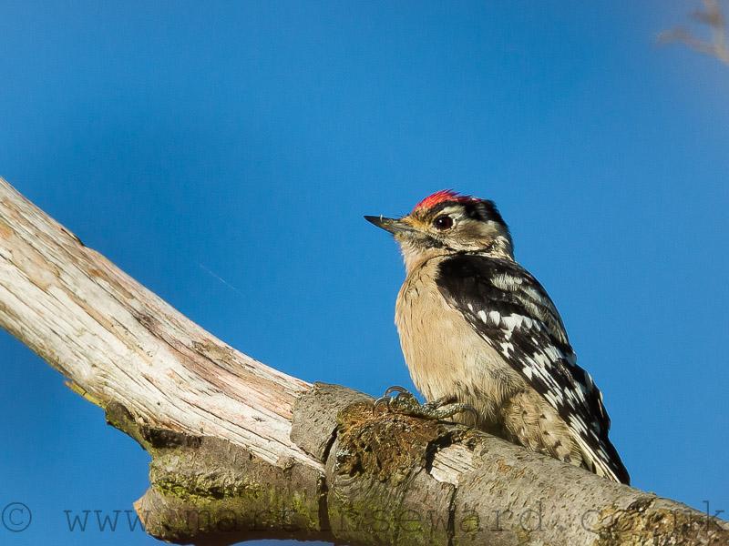 Birds-lesser-spot-ms