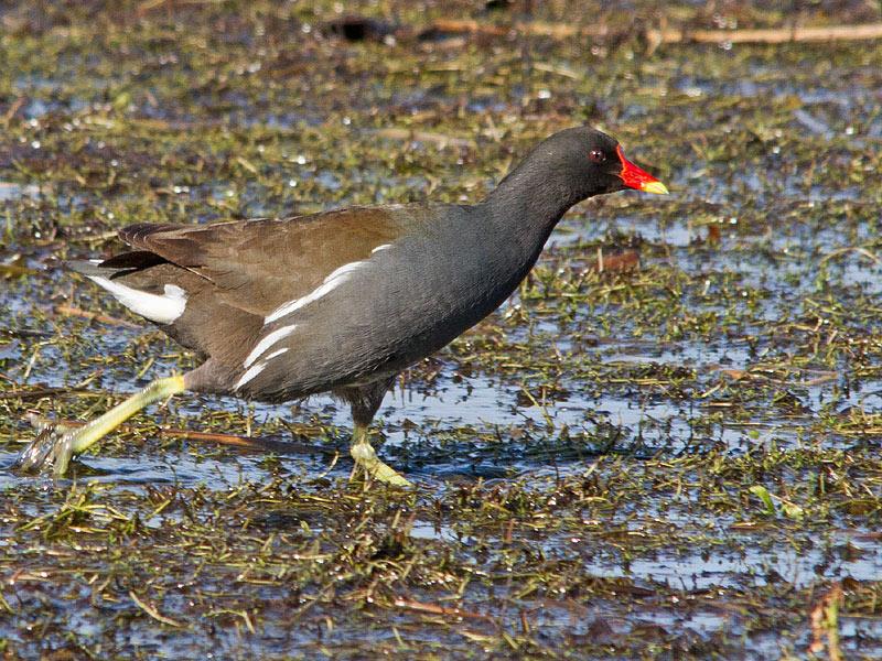 Birds-moorhen-th