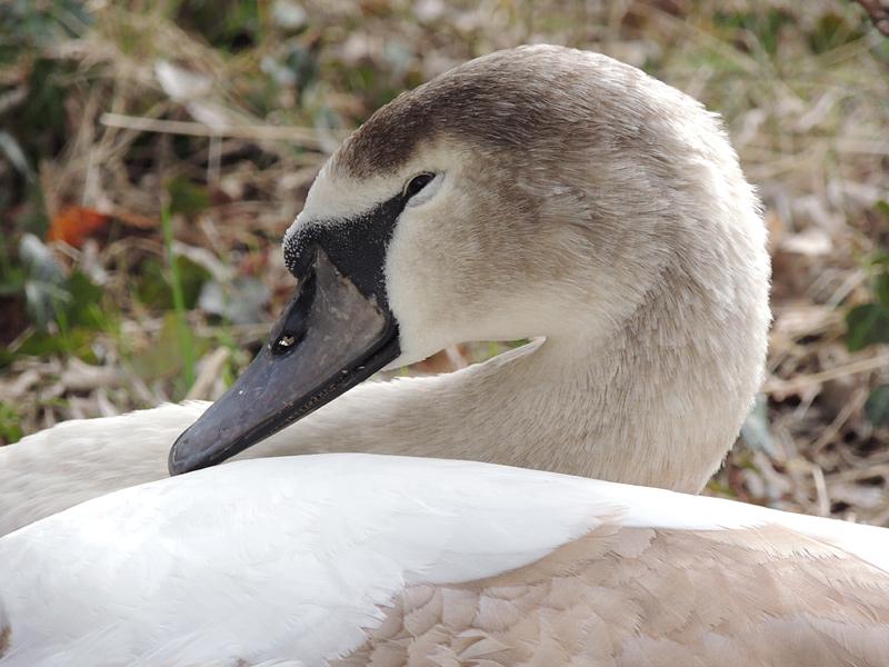 Birds-mute-swan