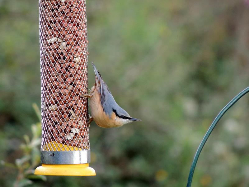 Birds-nuthatch-rm