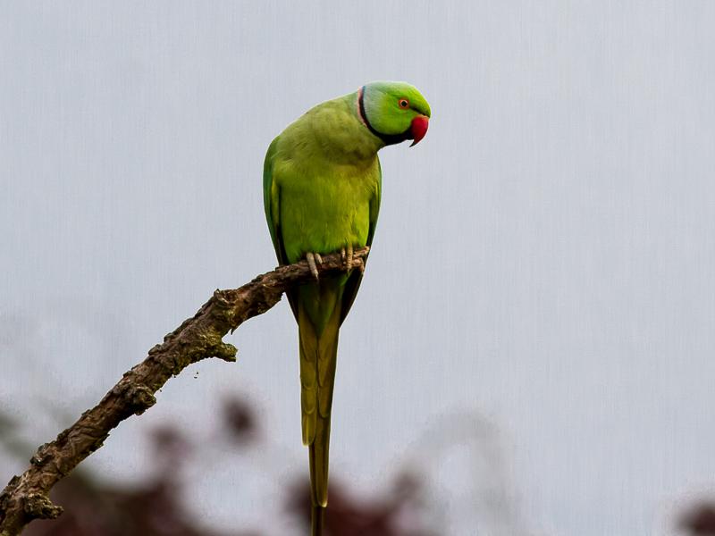 Birds-r-n-parakeet-tj