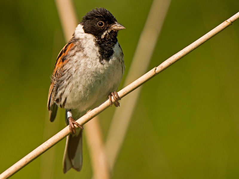 birds-reed-bunting-mr1