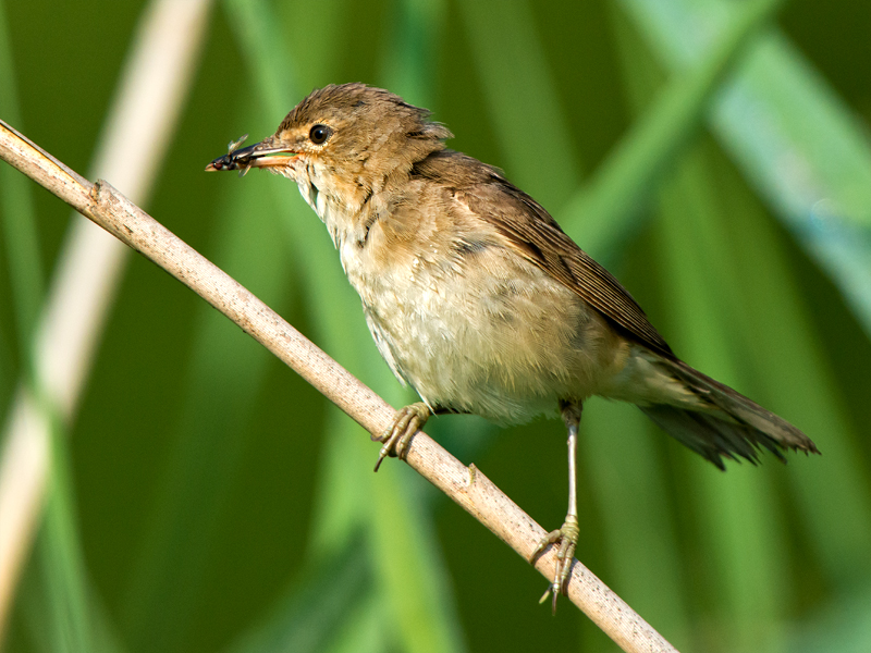 Birds-reed-warbler-mr
