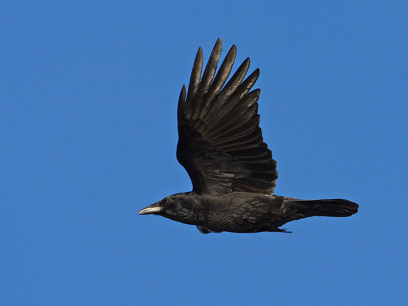 Birds-rook-th
