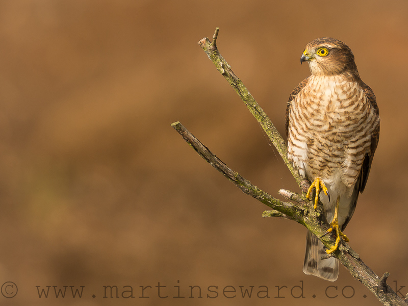 Birds-sparrowhawk-ms