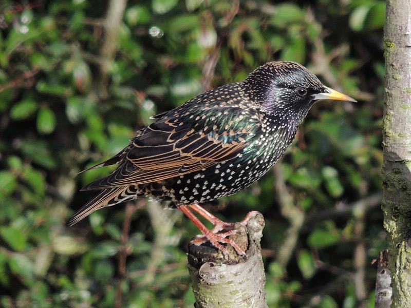 Birds-starling