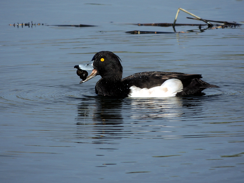 Birds-tufted-duck-rm