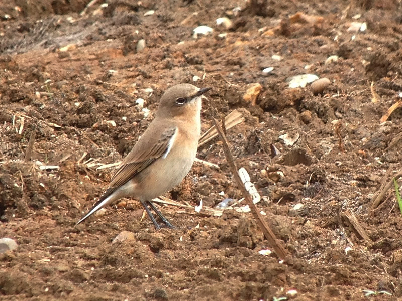 Birds-wheatear-fjc
