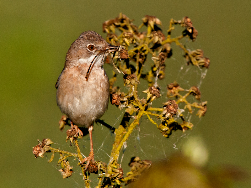 Birds-whitethroat-food-mr