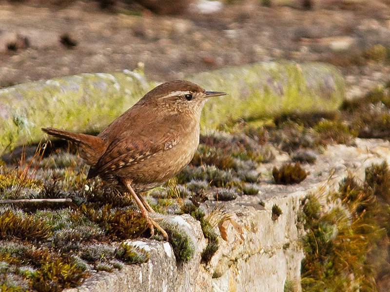 Birds-wren-th