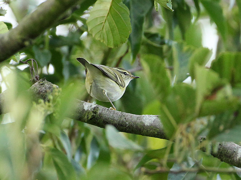 Birds-yellbrow-warbler-dr
