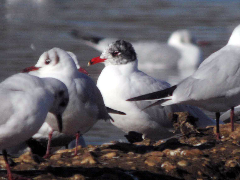 birds-med-gull-mw