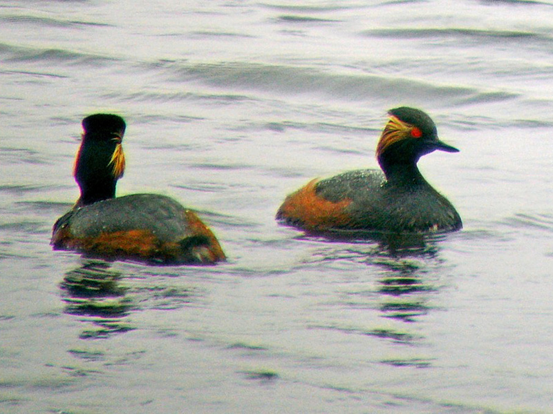 black-necked-grebes-spd