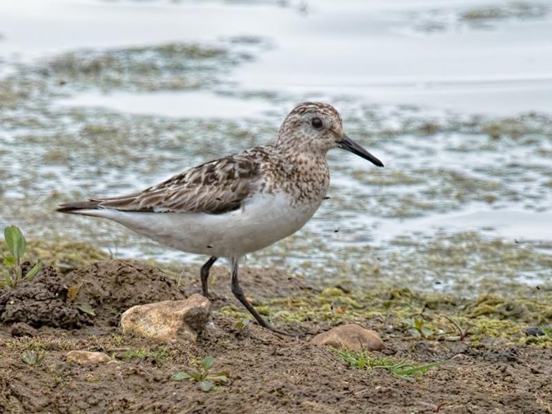 sanderling-ab