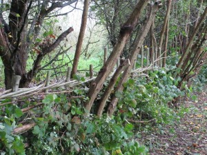LFGP hedge laying1
