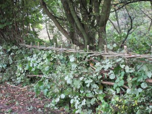 LFGP hedge laying2
