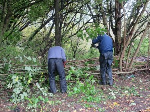 LFGP hedge laying3