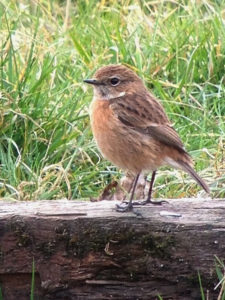 stonechat-16-3-16-golf-cour